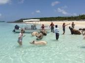 Дикие свиньи на острове Эксума...очень дружелюбные!