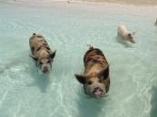 Дикие свиньи на острове Эксума