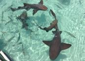 Акулы nurse на Эксуме