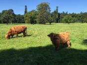 Местные коровки утепленные