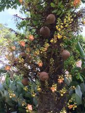 Пушечное дерево