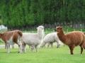 Австралийские ламы