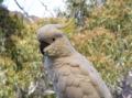 Австралийский попугай