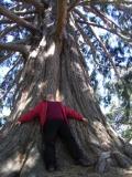 Новозеландское дерево