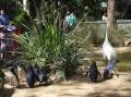Австралийский пингвины