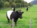 Австралийская корова