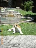 Тигр в Австралии