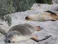 Тюлени на острове Кенгуру