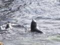 Тюлени австралийские