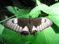 Бабочка в Куранде