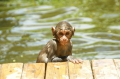 Хайнаньские обезьянки