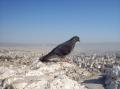 Афинский голубь, автор: Рината Сайфуллина, г. Астрахань