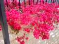 Цветы Бахайского сада