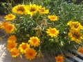 Цветы, о.Искья