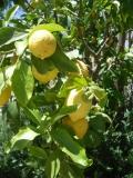 Лимоны на юге Италии растут повсеместно