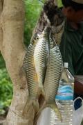 Сушеная рыба. О. Конг. Си Па Дон