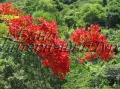 Красная акация цветет летом