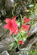 Рододендроны. Национальный парк Бать Ма