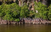 мангровыми деревьями